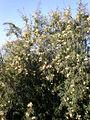 Freylinia lanceolata 1c.JPG