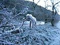 Frozen catkins in December - geograph.org.uk - 1083157.jpg