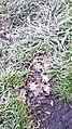 Frozen leaves on frozen grass.jpg