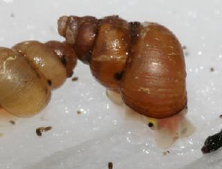 <i>Fukuia integra</i> Species of gastropod