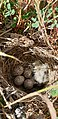 Galerida cristata 01 nido by-dpc.jpg