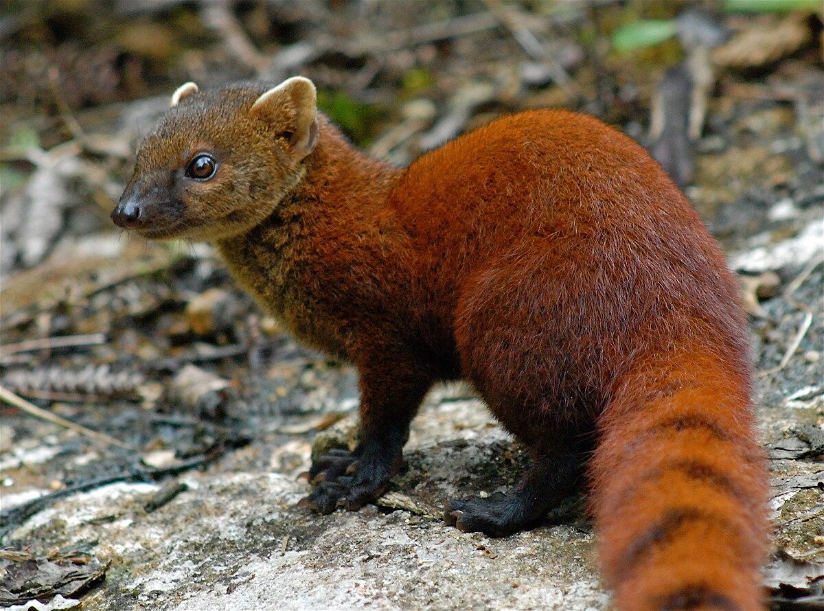 ring tailed mongoose wikipedia