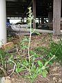Gamochaeta pensylvanica plant1 (14644342983).jpg