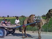 Ganganagar rural camel cart