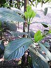 Garcinia pedunculata.jpeg