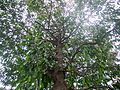 Garcinia xanthochymus (7090309357).jpg