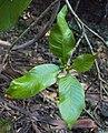 Gardenia gummifera 04.JPG