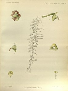 Gastrochilus affinis (as Saccolabium affinum) - The Orchids of the Sikkim-Himalaya pl 304 (1889).jpg