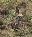 Gazella gazella gazella 3.jpg