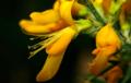 Genista madoniensis flower.png