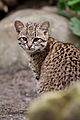 Geoffroy's cat, female.jpg
