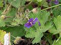 Geranium ibericum ssp jubatum 4x3.jpg