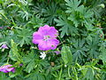 Geranium sanguineum Paris.JPG