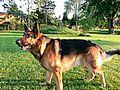German Shepherd Dog Asko.jpg