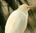 Gfp-cattle-egret.jpg