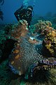 Giant Clam Tridacna Gigas 1.jpg