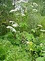 Giant Hogweed - geograph.org.uk - 1407585.jpg