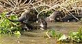 Giant Otters (Pteronura brasiliensis) family group ... (48426645757).jpg
