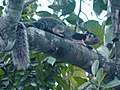Giant Squirrel (Ratufa macroura).jpg