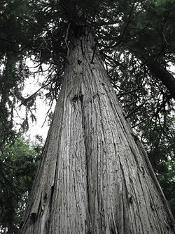 Giant cedar in South Whidbey State Park.JPG