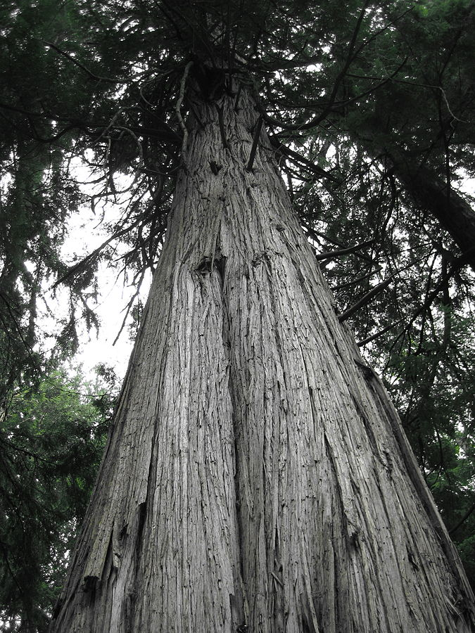 File:Giant cedar in South Whidbey State Park.JPG