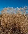 Giant reed 3645.jpg