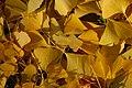Ginkgo Tree Ginkgo biloba Leaves Fallen 3008px.jpg
