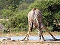 Giraffe drinking - panoramio.jpg