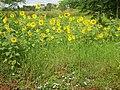 Girassol (Helianthus annuus) na Rodovia vicinal Pitangueiras-Viradouro - panoramio (1).jpg