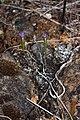 Githopsis specularioides 4541.JPG