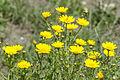 Glebionis coronaria - Crown Daisy 02.jpg