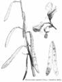 Gliricidia sepium - croquis.png