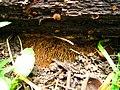 Gloeophyllum sepiarium.jpg