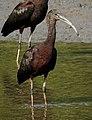Glossy Ibis Plegadis falcinellus by Dr. Raju Kasambe DSCN0962 (1).jpg