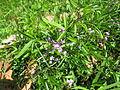 Glycine clandestina plant9 (10753740214).jpg