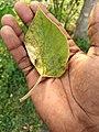 Gmelina arborea - Gamhar, Kumbil 2.jpg