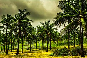 Goa Coconut tree