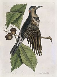 Gold-winged wood-pecker on Chesnut oak, 1731 Wellcome L0035369.jpg