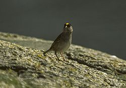 Golden-crowned Sparrow - Alaska 980011 (23024638729).jpg