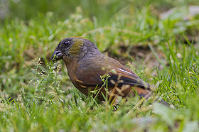 Golden-naped Finch East Sikkim India Asia 10.05.2014.jpg