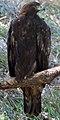 Golden Eagle (8067482076).jpg
