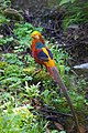 Golden Pheasant, Tangjiahe Nature Reserve, Sichuan.jpg