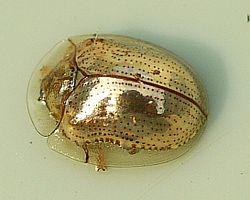 Golden Tortoise Beetle - Charidotella sexpunctata.jpg
