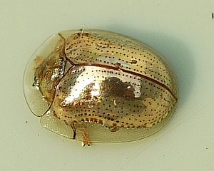English: Charidotella sexpunctata - Golden Tor...