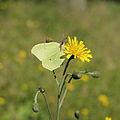 Gonepteryx rhamni-IMG 5608.jpg