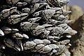 Goose barnacles? (27776796017).jpg