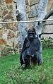 Gorilla0477b2.jpg