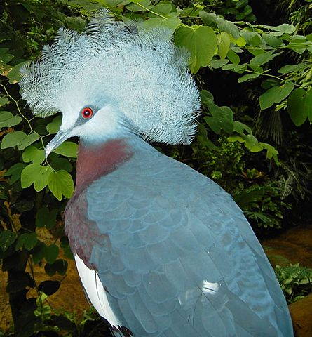 Southern crowned pigeon in the zoo.