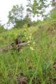 Grünliche Waldhyazinthe (Platanthera chlorantha).png