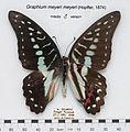 GraphiumMeyeriMeyeriMUpUnAC1.jpg